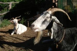 Melliodora-goats